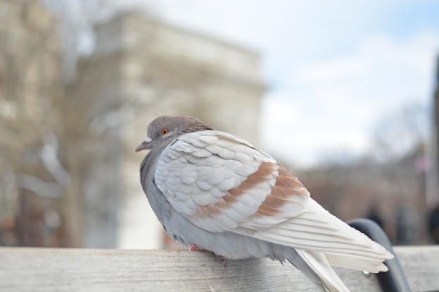 whitepidgeon2-jan2015